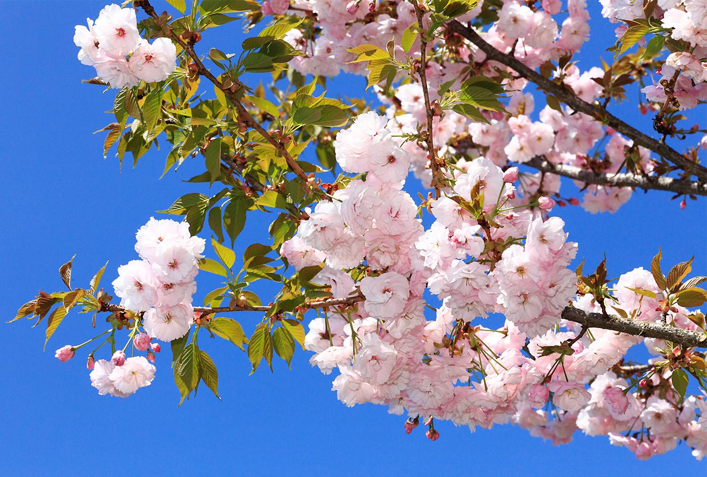 さくら市の桜 – 栃木県さくら市観光ナビ